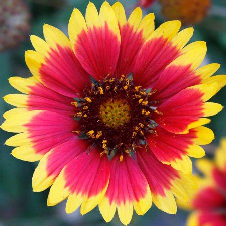 blanket flower gaillardia wildflower seeds  oz