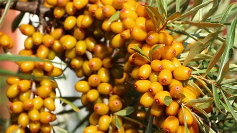 stock video  sun fresh sour sea buckthorn berries