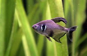 Black phantom tetra - Wikipedia