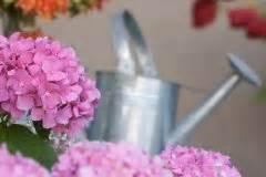 hortensie endless summer schneiden hortensie endless summer schneiden 187 wann und wie