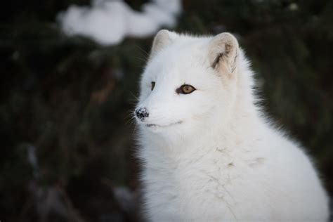 arctic fox foxes animal father network kingdom fathers