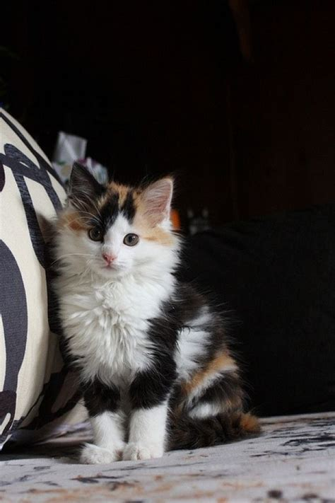 calico cat cute rare cats cutest happy most baby called breed pretty cutestpaw gato kitty