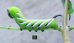 Chenille Verte Fluo : notre chenille verte notre p 39 tit nid vert ~ Nature-et-papiers.com Idées de Décoration