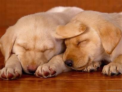 Puppies Puppy Wallpapers Desktop Animals Zoo