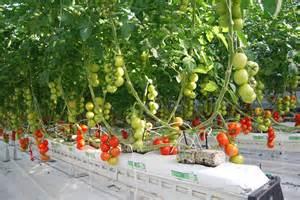 how to grow tomatoes in a grow bag grow bags jiffy sa
