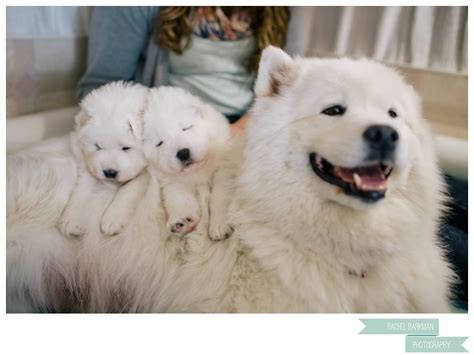 Samoyed Puppies Definitely Getting One Of These Lil Pups