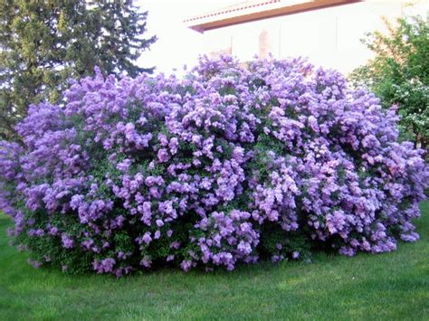 lilacs that bloom all summer untitled document cchs usd224 com