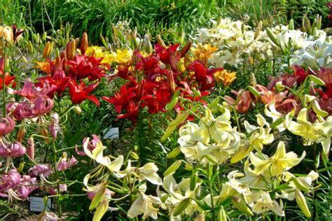 Lilien » Pflanzen, Pflegen, Vermehren Und Mehr