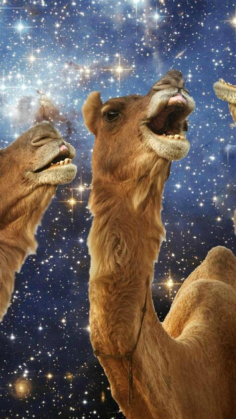 llama laughing wallpaper