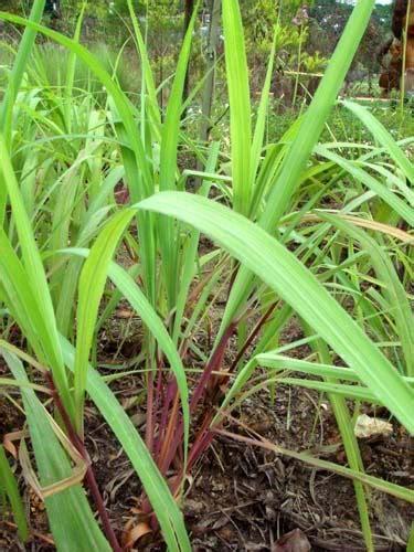 mosquito plant scientific name tanaman sereh citronella plants living in indonesia expat forum