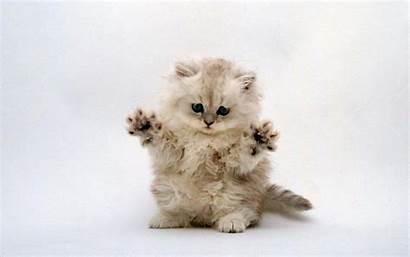 Kitten Wallpapers Desktop Felis Catus Cat Computer