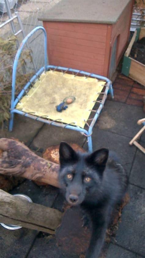 black foxes uk