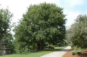 Chinese Lacebark Elm Tree