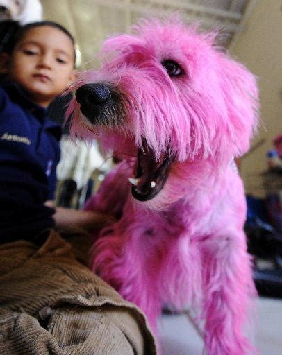 dye  dog pink  valentines day  pets chronicle