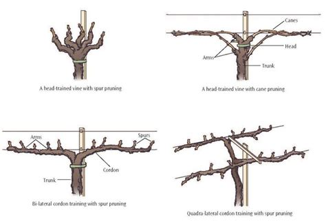 how to prune concord grapes pruning grapes google search grapes pinterest growing grapes garden landscaping and gardens