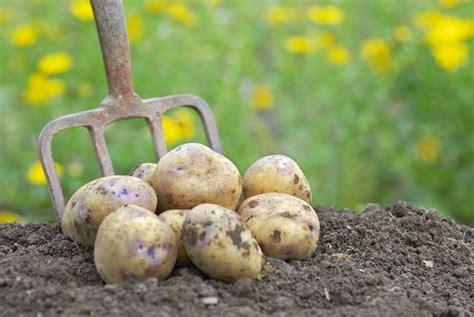 Planter Des Pommes De Terre Avec La Lune by Pomme De Terre Semer Et Planter Ooreka