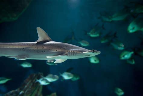 aquarium la rochelle requin requin marteau tiburo encyclop 233 die des esp 232 ces