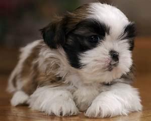Brown Shih Tzu Poodle Puppiesbrown Baby Shih Tzu Bshih Tzu ...