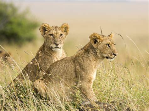 lioness  cub wallpapers nat geo adventure