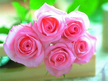 Rose Pink Wallpapers Roses Flower Backgrounds Flowers