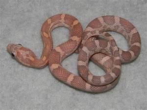 Lavender Corn Snakes for Sale. Buy a Lavender Corn Snake ...