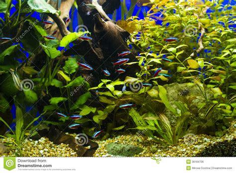 equipement aquarium eau douce image libre de droits cardinal fishes in freshwater aquarium image 36184706