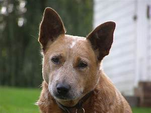 Things you Didn't Know about the Red Heeler