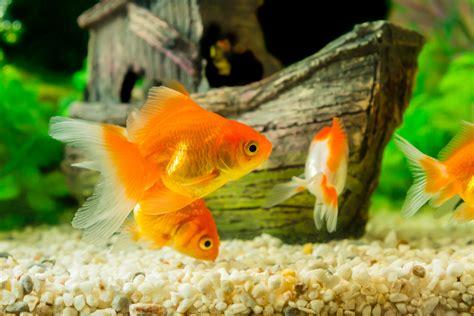 wie groß werden goldfische goldfisch haltung im aquarium zooplus aquaristik magazin