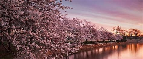 swoon worthy japanese cherry blossoms pictures