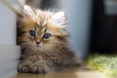 cutest cats in the world cats images world s cutest kitten wallpaper and background