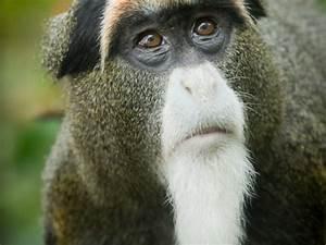 De Brazza U0026 39 S Monkey