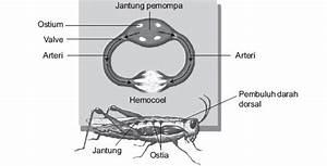 Peredaran Darah Pada Serangga Beserta Gambarnya