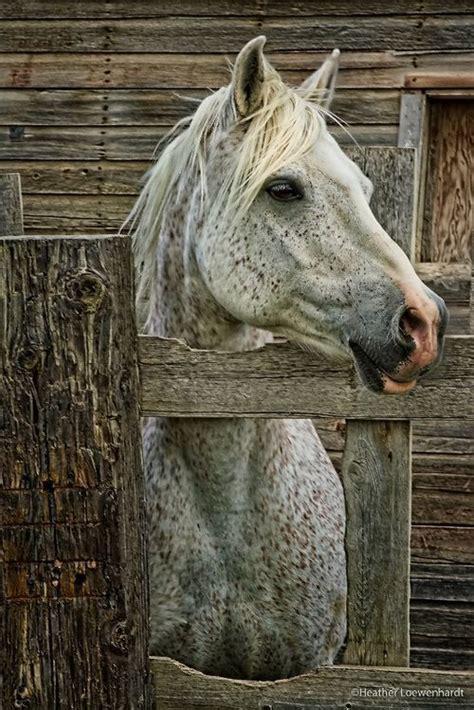flea bitten grey horses   remind   rambo