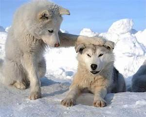 Cute Husky Puppies | Dogs and Puppies | Pinterest
