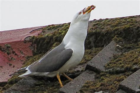 Seagull Turned Cannibal Murders And Eats Other Bird