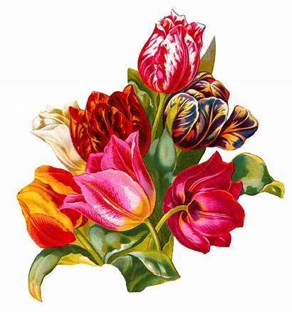 Botanical Tulip Flower Illustration Artwork Digital Antique