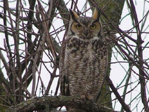 bird sounds and call of the great horned owl the old