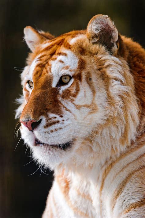 Beautiful Golden Tiger Pics