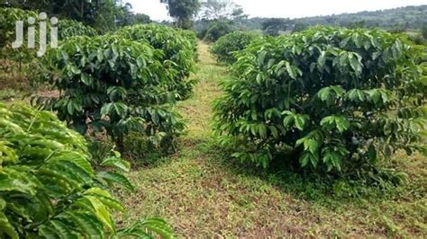 Lowest commission in the industry guaranteed. Coffee Plantation At Mityana For Sale in Kampala - Land & Plots For Sale, Goodwill Wholesalers ...