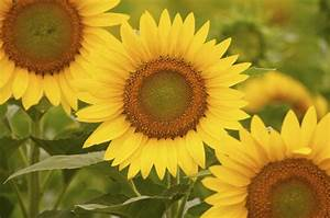 Facts About Sunflower Plants For Kids  With Pictures