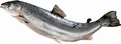 Salmon Fish Transparent Clipart Atlantic Fin Jumping