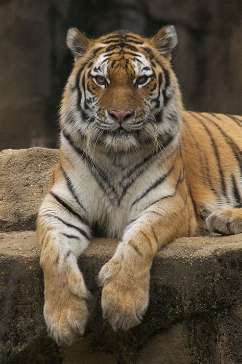 One The Most Beautiful Animals Trio Tiger Photos