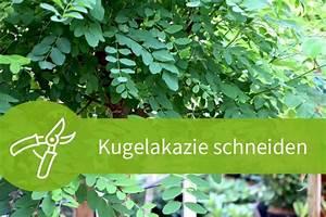 Pflanzen Schneiden Kalender : kugelakazie schneiden 3 schnitte f r die robinie ~ Orissabook.com Haus und Dekorationen