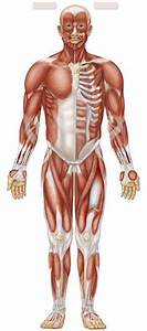 117 Best Muscular Anatomy Images