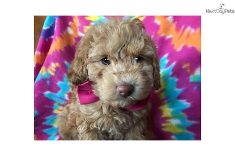 do f1 cockapoos shed cockapoo puppy for sale near lancaster pennsylvania