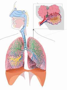 Nose Clipart Respiratory System  Nose Respiratory System