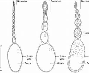 Three Distinct Organizations Of Insect Ovaries  Schematic