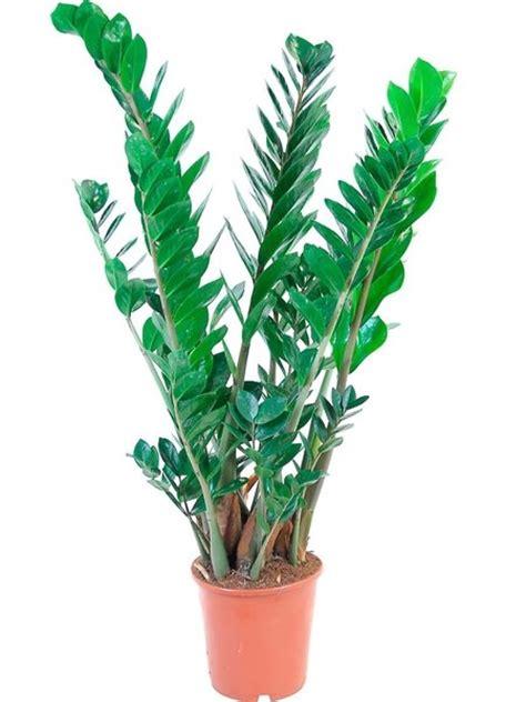 Zimmerpflanzen für dunkle Räume Glücksfeder (Zamioculcas