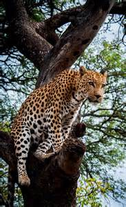 Leopard South Africa Tree