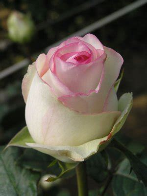 penprapa: ดอกกุหลาบ
